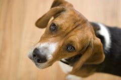 Cão bonito do lebreiro fotos de stock