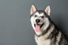 Cão bonito do malamute do Alasca fotografia de stock