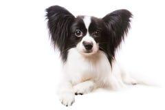 Cão bonito do papillon que encontra-se no branco isolado Foto de Stock Royalty Free