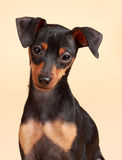 Cão bonito do pinscher imagem de stock royalty free