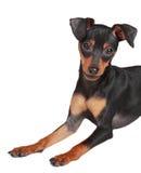 Cão bonito do pinscher Fotografia de Stock