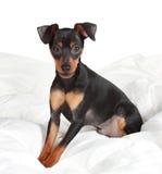 Cão bonito do pinscher Imagens de Stock Royalty Free