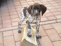 Cão bonito do ponteiro que corre e que joga fora imagens de stock royalty free