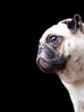 Cão bonito do Pug fotografia de stock
