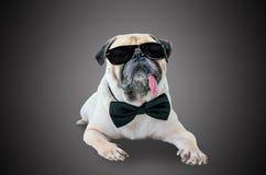 Cão bonito do pug do detetive esperto com óculos de sol e laço do terno Foto de Stock