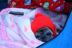 Cão bonito do Pug que veste um chapéu vermelho imagens de stock