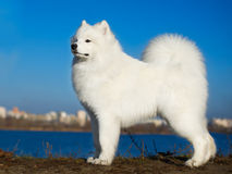 Cão bonito do samoyed Foto de Stock Royalty Free