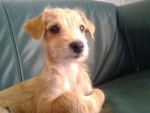 Cão bonito do sofá da situação do pappie dourado Foto de Stock