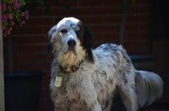 Cão bonito do spaniel de Springer com os olhos marrons bonitos grandes Imagem de Stock