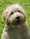 Cão bonito do terrier Fotografia de Stock Royalty Free