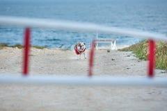 Cão bonito do touro com o bandana vermelho no amigo humano de espera estando do pescoço perto do lado de mar com a cara engraçada Imagem de Stock