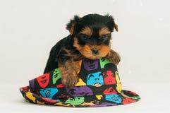 Cão bonito do yorkshire terrier Fotos de Stock