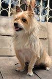 Cão bonito do yorkshire terrier da raça misturada Imagem de Stock
