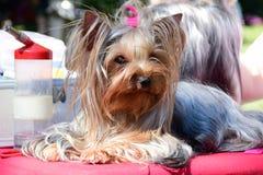 cão bonito do yorkshire terrier que encontra-se e que descansa antes da exposição de cães fotos de stock royalty free
