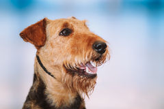 Cão bonito dos terrier de Brown Airedale Imagens de Stock Royalty Free