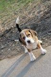 Cão bonito em uma trela que anda abaixo da rua Foto de Stock Royalty Free