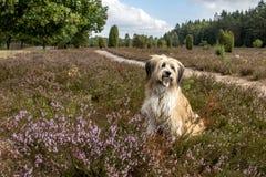 Cão bonito na paisagem da charneca fotos de stock royalty free