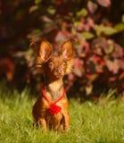 Cão bonito na paisagem do outono Cachorrinho com suas orelhas pet imagens de stock royalty free