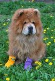 Cão bonito nas peúgas Imagem de Stock