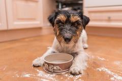 Cão bonito pequeno que cozinha e que coze - terrier de russell do jaque fotografia de stock royalty free