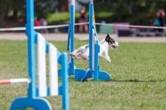 Cão bonito pequeno que salta sobre o obstáculo na competição de esporte da agilidade do cão fotografia de stock