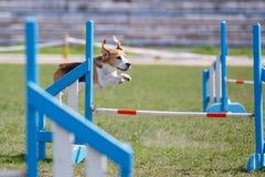 Cão bonito pequeno que salta sobre o obstáculo na competição de esporte da agilidade do cão fotografia de stock royalty free