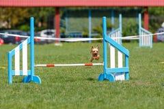 Cão bonito pequeno que salta sobre o obstáculo na competição de esporte da agilidade do cão imagem de stock