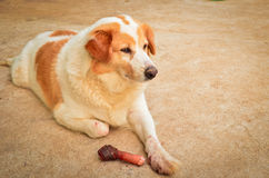 Cão bonito que come o osso Fotos de Stock Royalty Free