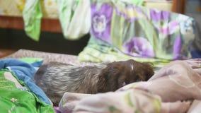 Cão bonito que dorme no camas em casa, inglês cocker spaniel video estoque
