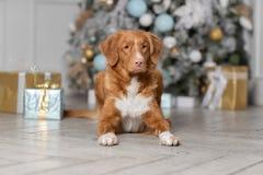 Cão bonito que espera o ano novo imagens de stock