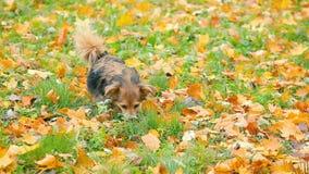 Cão bonito que joga no gramado outonal das matiz detalhado do outono vídeos de arquivo