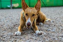 Cão bonito que posiing com o brinquedo foto de stock