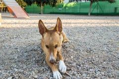Cão bonito que posiing com o brinquedo no parque imagens de stock royalty free