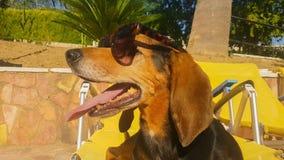 Cão bonito que senta-se em óculos de sol vestindo de uma espreguiçadeira Um momento do verão filme