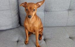 Cão bonito vermelho do Pinscher diminuto imagens de stock royalty free