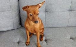 Cão bonito vermelho do Pinscher diminuto imagens de stock