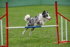 Cão border collie do puro-sangue que salta sobre o obstáculo nos comp(s) da agilidade Fotos de Stock