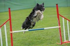 Cão border collie do puro-sangue que salta sobre o obstáculo nos comp(s) da agilidade Imagem de Stock