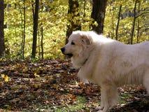 Cão branco Fotografia de Stock