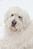 Cão branco Fotos de Stock