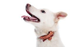 Cão branco Imagem de Stock Royalty Free