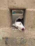 Cão branco Fotografia de Stock Royalty Free