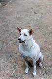 Cão branco Foto de Stock Royalty Free