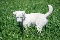 Cão branco Fotos de Stock Royalty Free