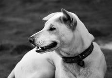 Cão branco atento Fotos de Stock Royalty Free