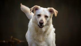 Cão branco bonito Imagens de Stock
