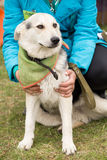 Cão branco bonito engraçado que senta-se com a aeromoça fotografia de stock royalty free
