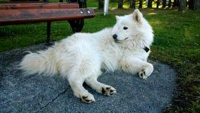 Cão branco bonito grande que encontra-se no parque perto do banco e da vista imagens de stock