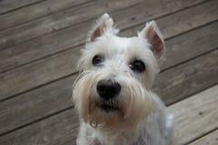 Cão branco bonito na plataforma de madeira Feche acima de Mini Schnauzer Fotografia de Stock Royalty Free