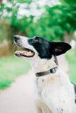 Cão branco com as orelhas pretas dos pontos pretos Fotografia de Stock